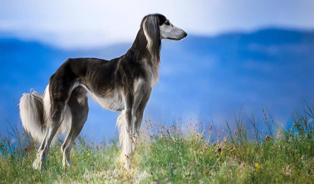 Салюки - дорогая порода собак.