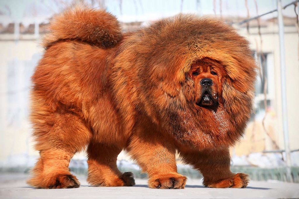 Тибетский мастиф - самая дорогая собака в мире.