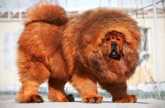 Самая дорогая собака в мире - ТОП 10 пород по цене в мире.