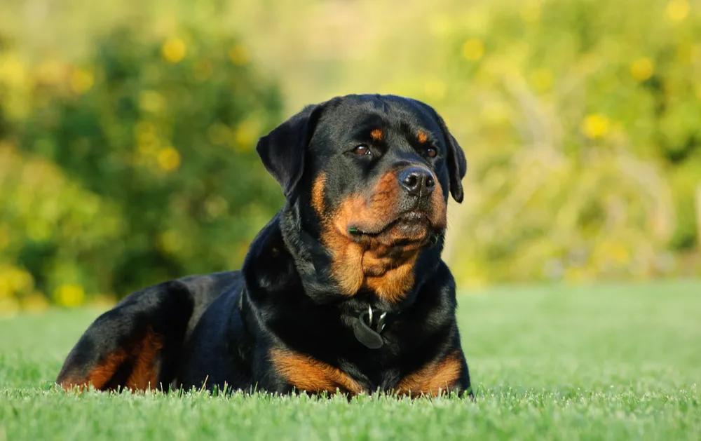 Ротвейлер - топ 10 самых дорогих пород собак в мире.