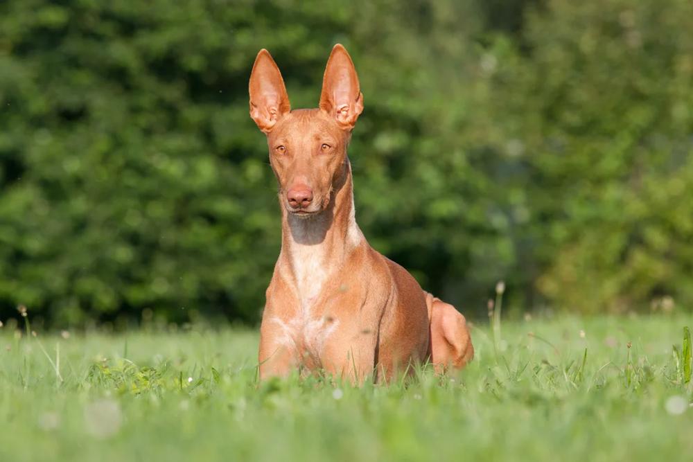 Фараонова собака.