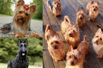 Терьеры - все породы с фото, характеристиками, ценами на щенков.