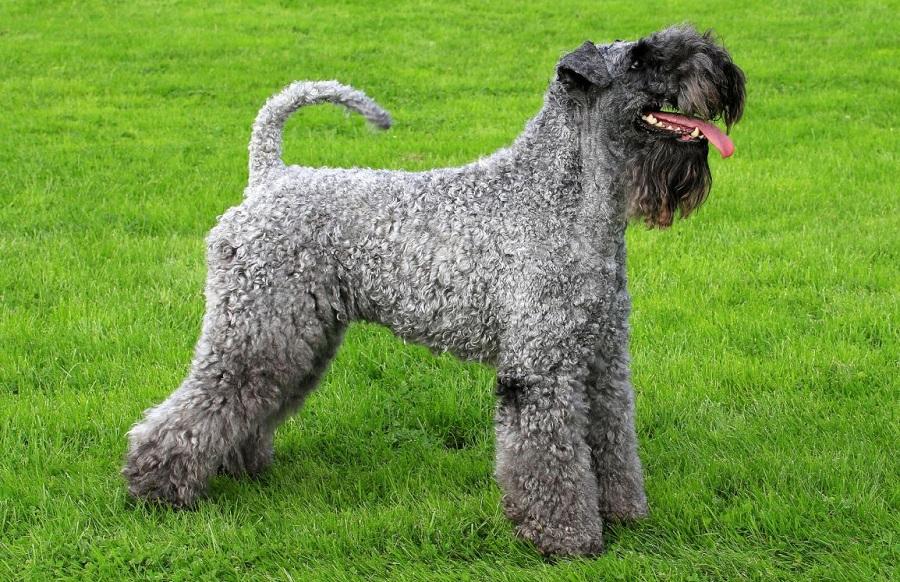 Керри-блю-терьер - порода собак