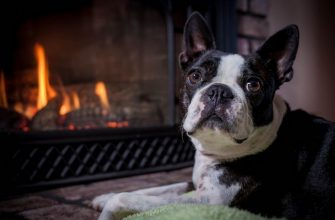 Бостон терьер - описание породы, характеристики, выбор щенка, уход