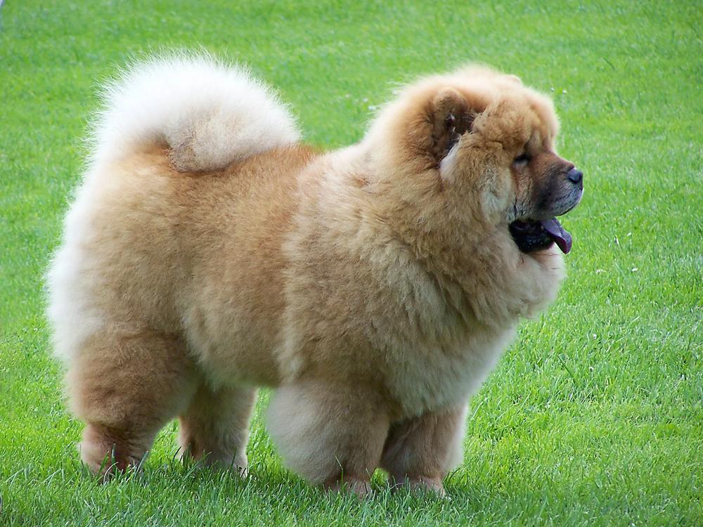 Содержания собак породы чау-чау.