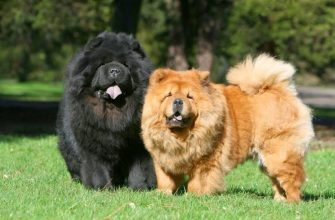 Чау-чау - порода собак, характеристики, особенности, уход