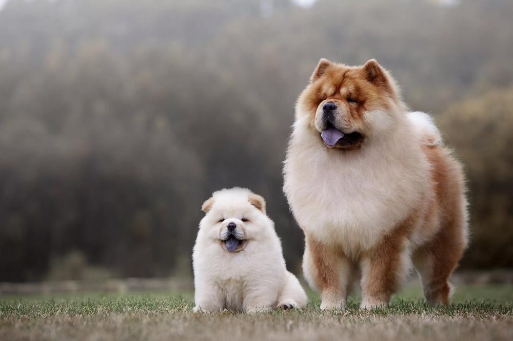 Характеристики собак чау-чау.