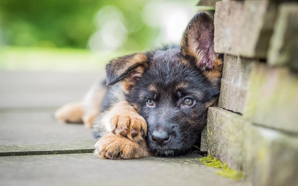 Развитие щенка немецкой овчарки