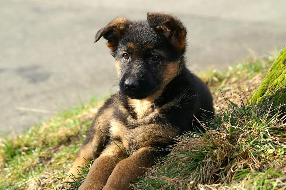 Вес щенка немецкой овчарки