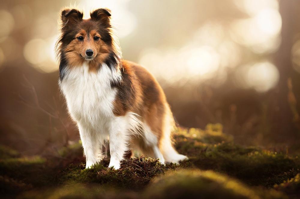 Шелти – собака. Основные факты о породе.