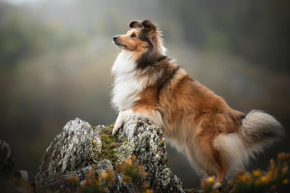 Шелти собака - подробный обзор породы (стандарт внешности, темперамент, уход).