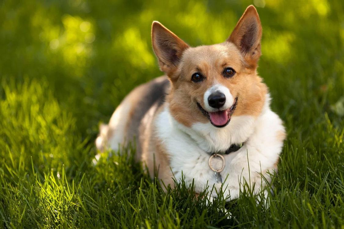 Что за собачки Вельш-корги-пемброк, характеристика породы, внешность собак, особенности темперамента, уход и воспитание, цена щенка