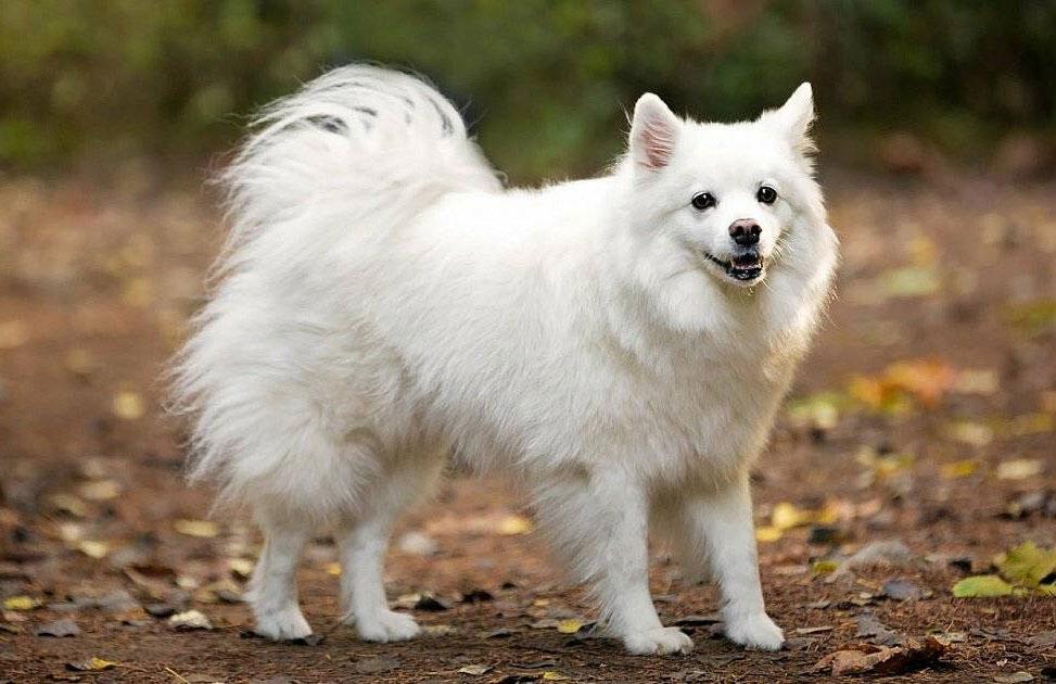 Американские эскимосские собаки.